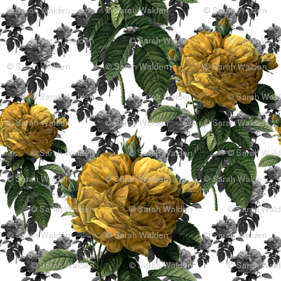 Redoute' Roses ~ Yellow