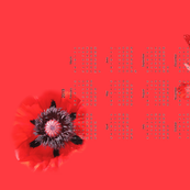Indulge in the Color of My Really Fantastic Red Poppy