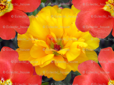 Yellow and Red Moss Roses