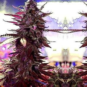 Purple_Kush