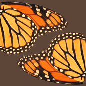 2 monarch butterfly insects wings