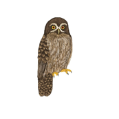 Morepork on white