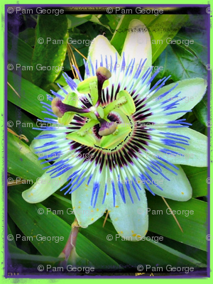 Rpassion_flower_2_ed_preview