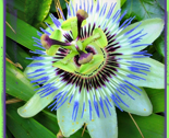Rpassion_flower_2_ed_thumb