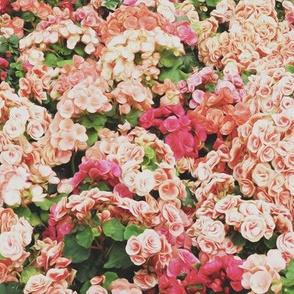 Blushing Beauties