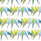 Rbudgies_colour_4_shop_thumb