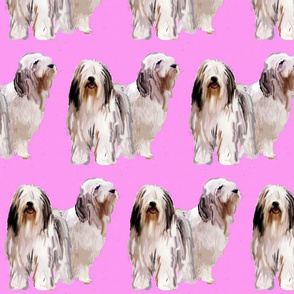 bearded_collies on pink background