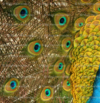 Peacock Golden Glory