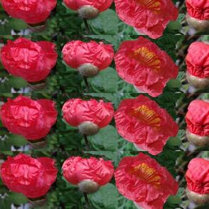 poppy starting to bloom