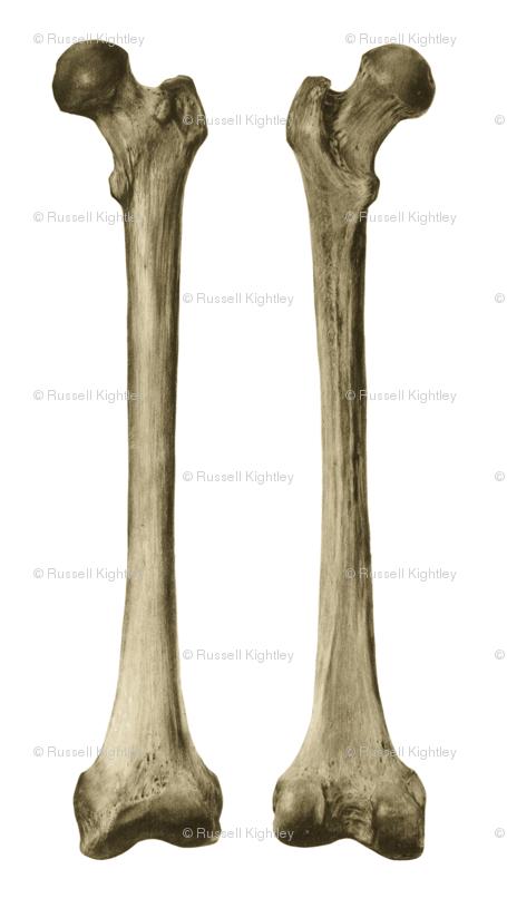 Femur Or Thigh Bone Wallpaper Kightleys Spoonflower