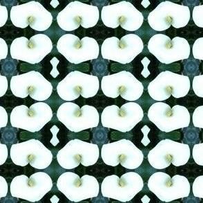 Lillium cruentus