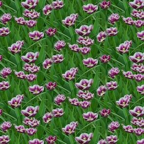 PurpleWhiteTulips