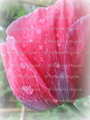 Pink poppy frosted
