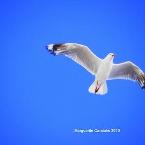 Gull_in_flight