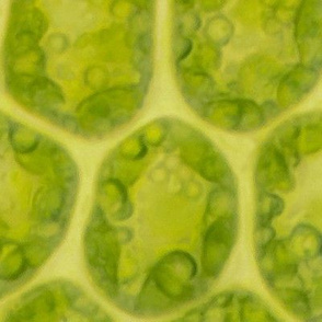 Moss leaf cells - microscope photograph LARGER