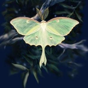 lunamoth02