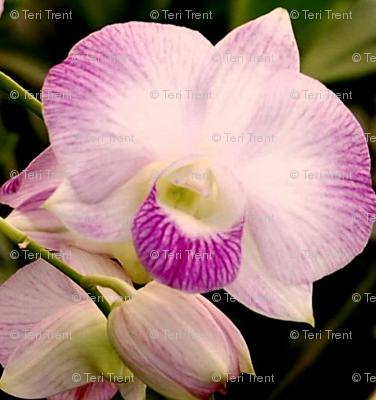 Dendrobium-orchid2-2007cr1