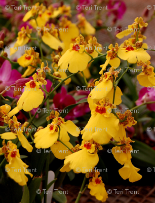 Rrrroncidium-orchid1-2007_preview