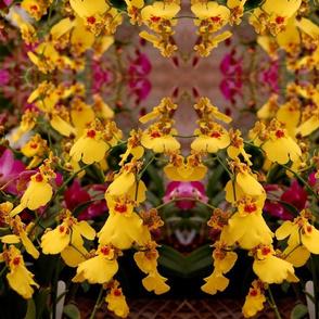 Oncidium-orchid1-2007