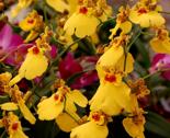 Rrrroncidium-orchid1-2007_thumb