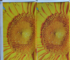 Sunflowers_multiple_on_blue_yard_comment_376535_thumb