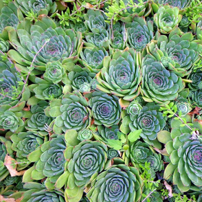 flock_of_hens_and_chicks_8-5-13