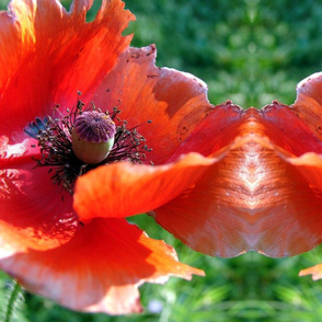 Tattered Poppy