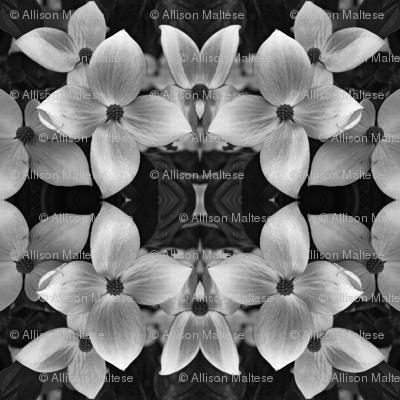 Black and White Dogwood 5168