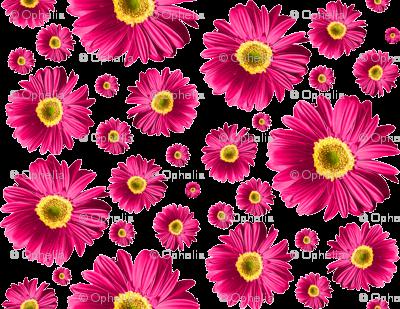 Fuchsia Daisies