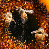 Bees Making Gold