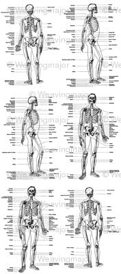 anatomical study of a skeleton