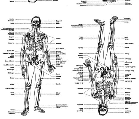 anatomical study of a skeleton fabric by weavingmajor on Spoonflower - custom fabric