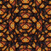 Heaps of Orange Monarch Butterflies