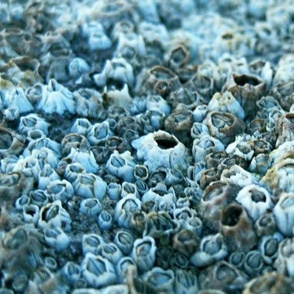 Barnacles cool colorway