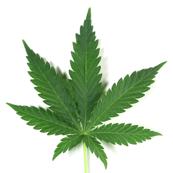 Weed leaf