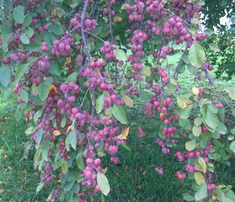 Rrrrrrcrabapple_comment_342435_thumb