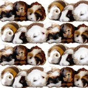 2394256_rrguinea_pigs_are_my_pasion_shop_thumb