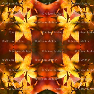 Japanese Maple Leaves 2572
