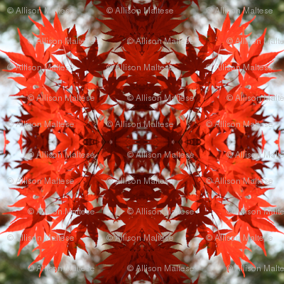 Red Maple Leaves 3494
