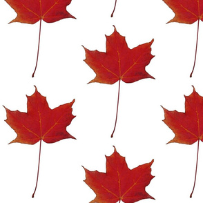 red_maple_leaf_canada_isolated
