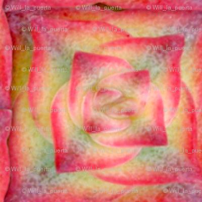 Succulent - Crassula 2