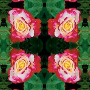 red-and-white-double-delight-tea-rose-l-ed