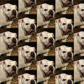 Bulldog Willy