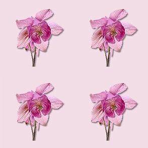 Pink Columbines