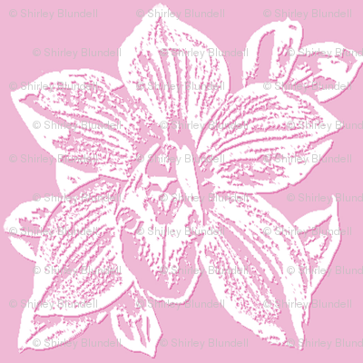 Orchid in Pink and White