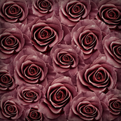 dusted rose of age