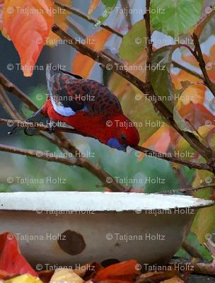 Rosella_feeding_in_Autumn