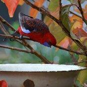 Rrrosella_feeding_in_autumn_shop_thumb