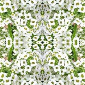 white alyssum
