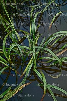 reeds_1